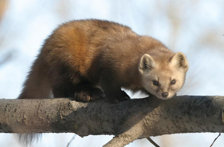 what lives here - pine marten