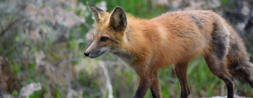 what lives here - red fox
