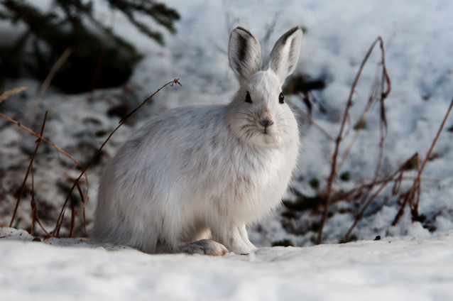 what lives here - snowshoe hare